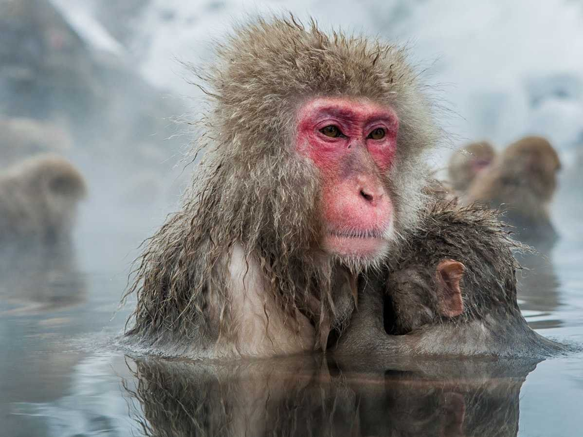 get-up-close-and-personal-with-japanese-snow-monkeys-who-come-to-bathe-in-the-hot-springs-of-japans-jigokudani-yaen-koen-in-nagano